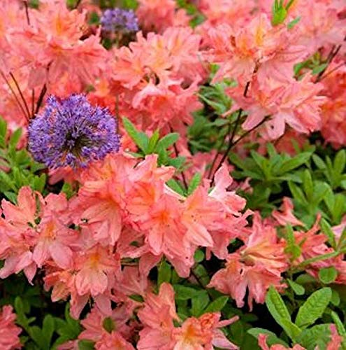 Azalee Cecile 40-50cm – Rhododendron luteum – Alpenrose