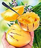 Qulista Samenhaus - 20pcs Selten Bio Melonenbirne 'Sugar Gold®' Samen Exotisches Obst Saatgut reichtragend