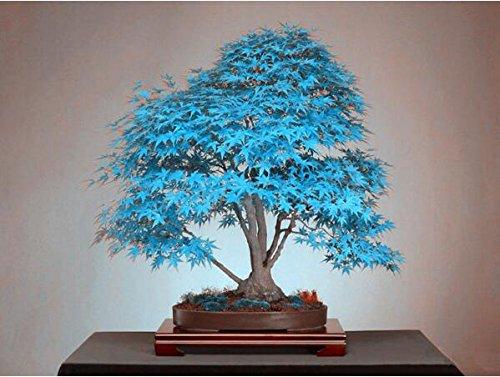 bonsai di acero semi blu semi dell'albero. cielo blu rara giapponesi piante semi di acero balcone per giardino di casa 10pcs r78