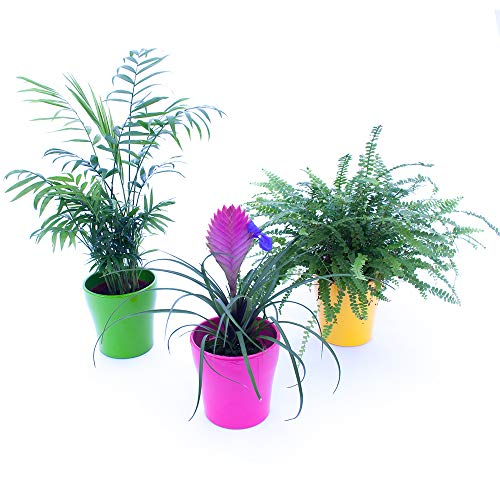 tris piante purifica aria: chamaedorea, tillandsia cianea, felce boston, 3 piante depura aria, piante vere