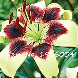 Virtue Ture Amaryllis Zwiebeln Hippeastrum Blume (nicht Amaryllis Samen) Dachterrasse Garten Patio Garten Barbados Lily Blumenzwiebeln-2 Stück 5