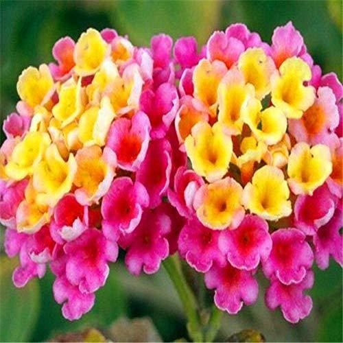 Shoopy Star 100 Pcs ananas: Tous les fruits Qualità des semences semences jardin Balcon Bonsai Plantes d'arbres