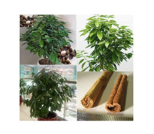 6x Zimtpflanze Elettaria cardamomum Zimmerpflanze Samen Garten Baum #395