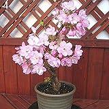 Uticon 20pcs Rari Semi Sakura Cherry Blossoms Pianta Bonsai Del Fiore In Vaso Per La Casa - Viola Chiaro Sakura Seeds