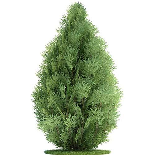 Pine Tree Garden Seeds (Portal Cool Samen Paket: 50 Stücke e Grüne Lebensba Cypress Sempervirens Pine Tree Seeds Garden. Uns)