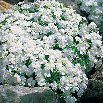 OBI Weiße, ansehnliche Blüten