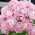 Yukio Samenhaus - 10 Stück England Stehende Geranie 'Appleblossom' Samen, Balkon-Geranie mit Traumblüten, Hit in Balkonkästen, Kübeln und Beeten von Yukio - Du und dein Garten