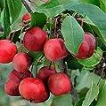Zierapfel Ola® , 1 Pflanze von Dominik Gartenparadies auf Du und dein Garten