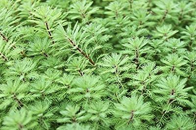 Wasserpflanzen Wolff - Myriophyllum aquaticum - Papageienfeder - Tausendblatt von Wasserpflanzen Wolff bei Du und dein Garten