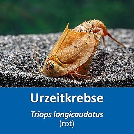 AQ4Aquaristik Triops longicaudatus (rot) RARITÄT (Zuchtansatz) mit Anleitung