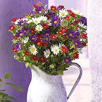 Farmerly Palette Mixed Hybrid 30 Seeds Pack (Old Fashioned, Single Flowered Asters in Strong, Clear Colours) Single Old Fashioned