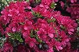 Japanische Azalee Maruschka Rhododendron rot-pink blühend Lieferhöhe 25-30 cm im Topf