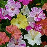Portal Cool 'Canicas mixta' Semillas Paquete de flor Mirabilis Jalapa Reyes exterior de calidad Semillas