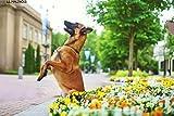 le berger belge malinois chiens de race