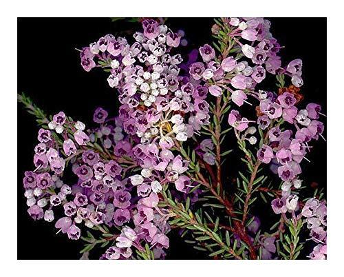 Erica canaliculata - Heidekraut - 15 Samen