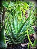 Graines bio: 1 grosse araignée oe spinosissima avec des racines attachées par Farmerly plantes grasses