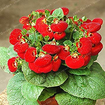 Fash Lady 50 Stücke Calceolaria Samen Dicentra Spectabilis Seltene Blume In Hausgarten DIY Bonsai Schöne Pflanzen Im Freien Einfach Pflanzen 4