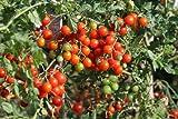 Graines de tomate cerise BIO (80 graines)