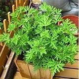 20 graines / paquet de graines mozzie buster semences anti-moustiques herbe plantes anti-moustiques