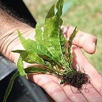 Java Helecho microsorum Pteropus * comprar 2Obtener 1gratis * | Principiante Live Acuario Acuático Plantas Tanque De Agua Dulce Planta para plantar, mejor Tropical Plantas para acuarios para la venta en línea