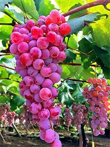 Pinkdose 50 pz colore raro uva bongsai pianta sana e organica frutta plang crescita naturale uva perenne piante da esterno per giardino: 8