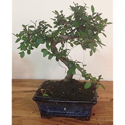 Chinese Elm Bonsai Tree Approx 10years Oriental Plant Koi Feng A43 by Bonsai2u