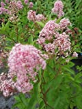 Säckelblume Marie Rose (R) - Ceanothus delilianus Marie Rose (R) (40-60)
