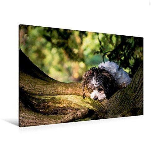 Premium Textil-Leinwand 120 cm x 80 cm quer, Havaneser | Wandbild, Bild auf Keilrahmen, Fertigbild auf echter Leinwand, Leinwanddruck: ...auf Spurensuche (CALVENDO Tiere) (Havaneser Hund Spielzeug)