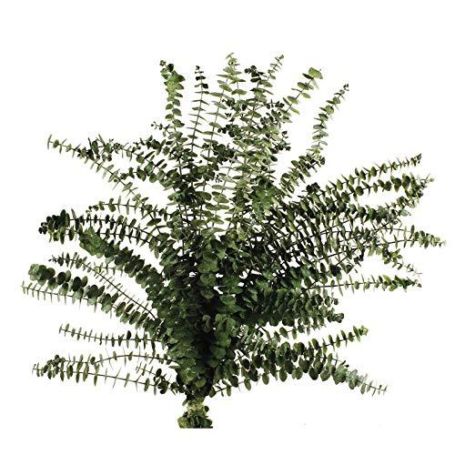 Ramo de eucalipto Baby, de 150 gramos aprox y una altura de 70/75 cm, eucalipto verde natural que ha pasado un proceso de liofilizacion. Nuestro eucalipto preservado de alta calidad, ha pasado un proceso de liofilizacion que mantiene su aspecto, bell...