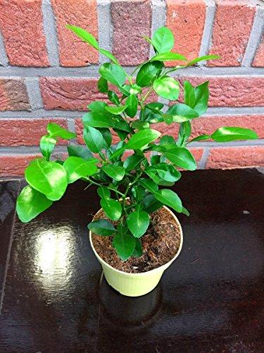 Kaffir Limette Citrus hystrix Nachhaltige Kräuter Plfanzen 1stk.