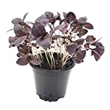 2 Pflanzen Basilikum Rot: rotes Basilikum in Gärtnerqualität - rotblättrige Basilikumspflanzen zum gesunden Kochen und zur Deko - Basilikum-Set