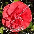 Kamelie 'Lady Campbell' - Camellia japonica - 3-jährige Pflanze von Oleanderhof bei Du und dein Garten