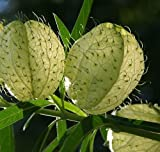 Gomphocarpus physocarpus - Ballon-Wolfsmilch - 10 Samen