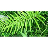 Cyclosorus aridus - helecho - 100 semillas