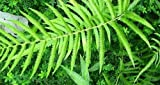 Cyclosorus aridus - Farn - 100 Samen