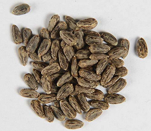 Eselsdistel Wolldistel Onopordum acanthium 80 Samen