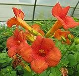 Campsis Grandiflora Trompetenblume Jasmintrompete Trompetenwein Klettertrompete - 80-100 cm