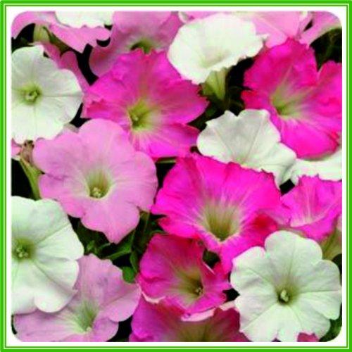 ajp-petunia-f1-easy-wave-series-tropicana-mix-seed