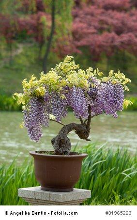 Blauregen Wisteria floribunda Bonsai 5 Samen