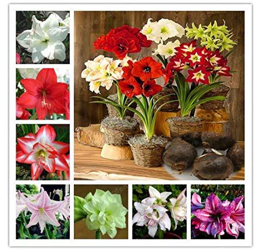 Portal Cool 5: 2Pcs Amaryllis-Zwiebeln Hippeastrum-Blumenzwiebeln Barbados-Lilien-Topfpflanze