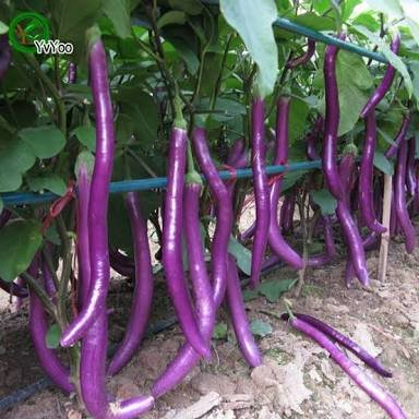 Vajra Seeds Chinese Brinjal Long F1 Hybrid Vegetable for Home and Garden - Set of 50