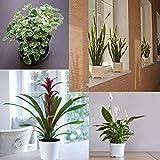 Portal Cool Bromelie Weiß 15Cm Pflanze: Evergreen Indoor Garten Zimmerpflanzen Topf Bäume Hohe Qualität Große Pflanzen T & M