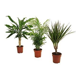 Dominik Blumen und Pflanzen, Palmen-Set, Dracena fragans, Zimmerpalme, Marginata
