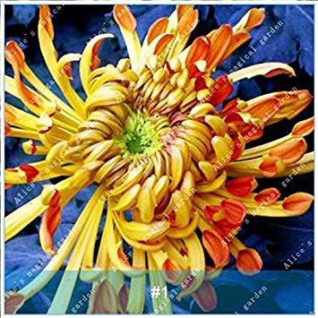 Galleria fotografica ZLKING 100 pc / pacchetto cinese colorful fiore del crisantemo bonsai semi freschi Natura Alto Tasso di germinazione delle piante in vaso Semi 1