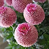 KINGDUO Egrow 100 Stk Giant Allium Giganteum Globemaster Schöne Blumen Samen Gartenpflanze Samen-1
