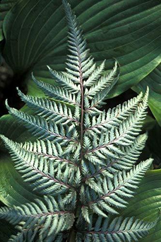 Shopmeeko Doppel 11 Freies Verschiffen 100 stücke Japanische Seltene Strampler Boston Fern bonsai Reben Gras Laub Pflanzen Zierpflanze Bonsai bonsa: Hellgrau
