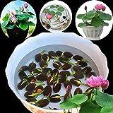 jinqiao Graines, 10 Pcs Nénuphar Graines de Fleurs Maison Balcon Jardin Plantes Hydroponiques Décoration - Nénuphar