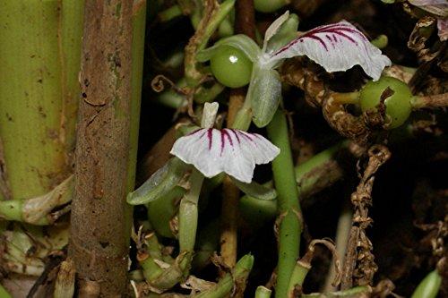Elettaria cardamomum, Kardamom, Cardamom, Green Cardamom, 20 Samen