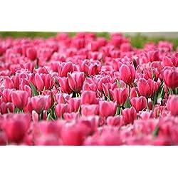Todos los tipos de bulbos de tulipanes hermosas flores de jardín son adecuados para las plantas en maceta (no es una semilla de tulipán) 2PC Bulbos 15