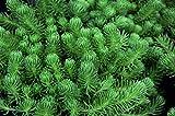 Sedum Green Ball - blaugrüne Polster-Fetthenne im Topf 12 cm - in Gärtnerqualität von Blumen Eber